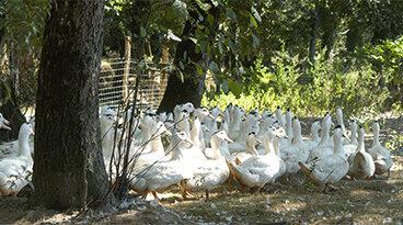 élevage canard Delpeyrat